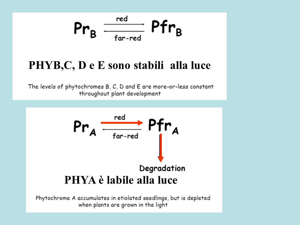 PHYB,C, D e E sono stabili alla luce