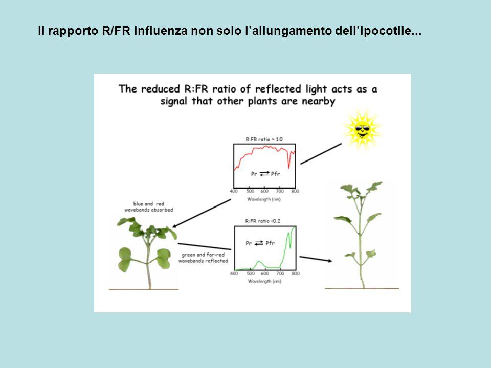 Il rapporto R/FR influenza non solo l'allungamento dell'ipocotile...