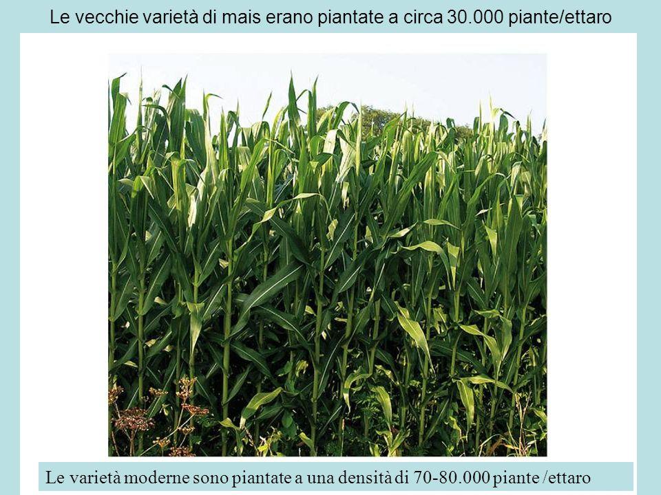 Le vecchie varietà di mais erano piantate a circa 30.000 piante/ettaro