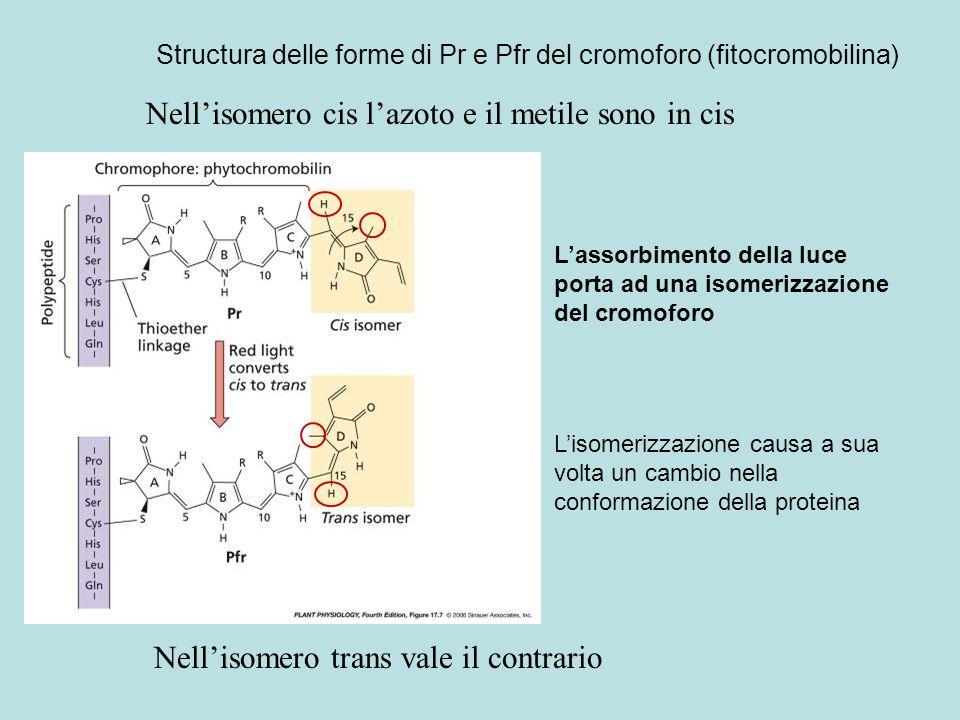 Structura delle forme di Pr e Pfr del cromoforo (fitocromobilina)