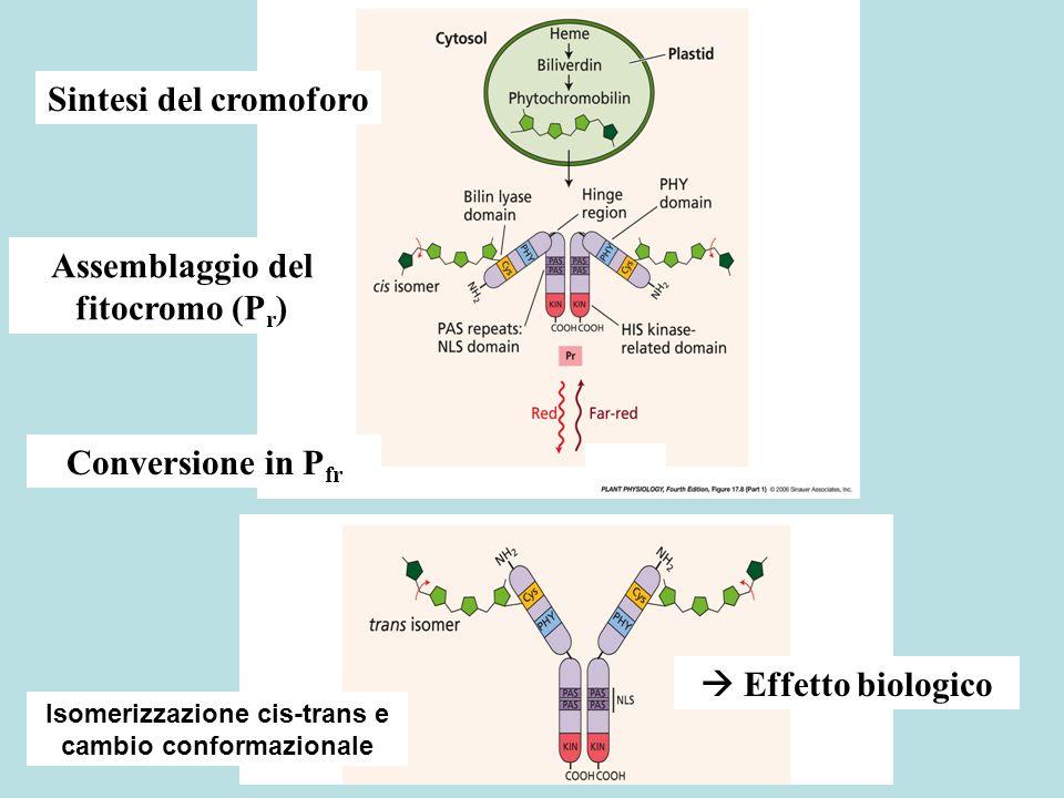 Assemblaggio del fitocromo (Pr)