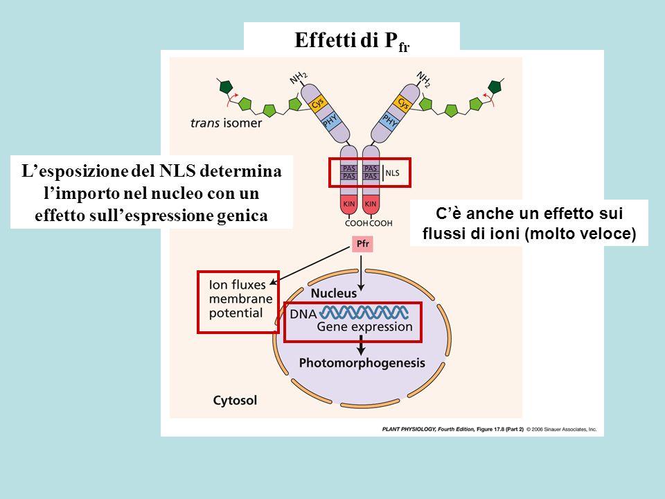 C'è anche un effetto sui flussi di ioni (molto veloce)