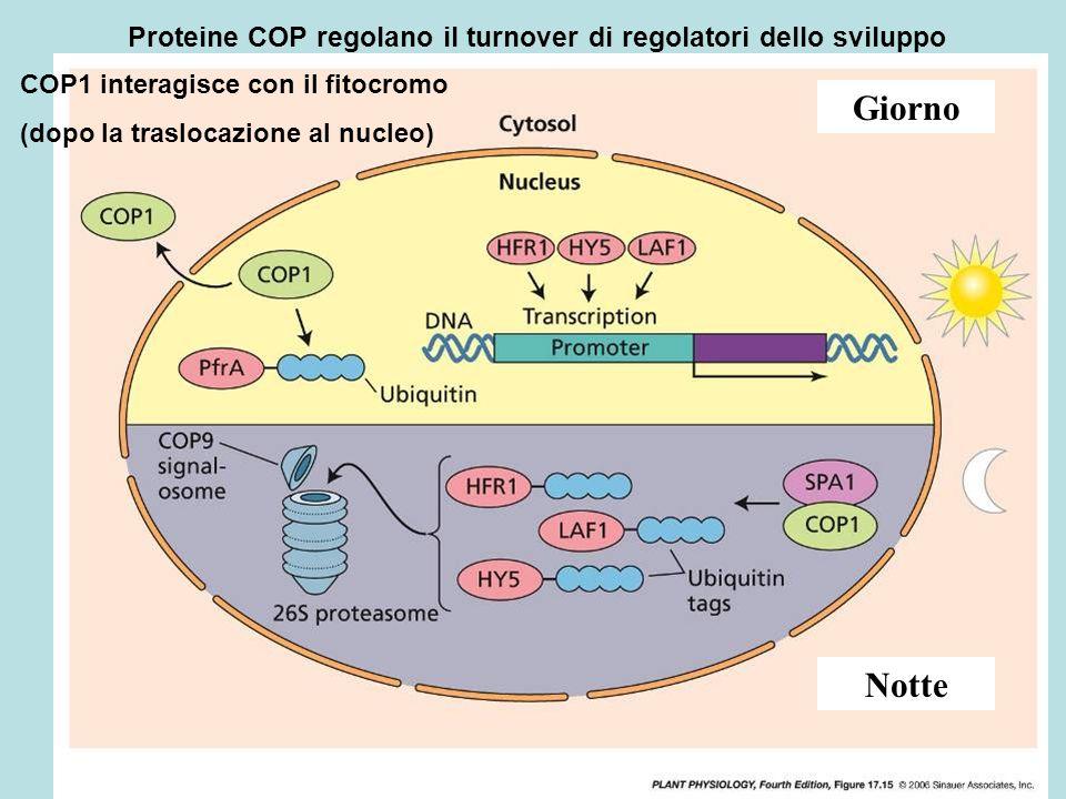 Proteine COP regolano il turnover di regolatori dello sviluppo