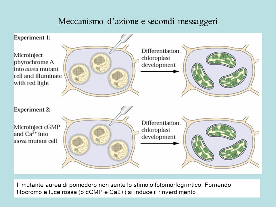Meccanismo d'azione e secondi messaggeri