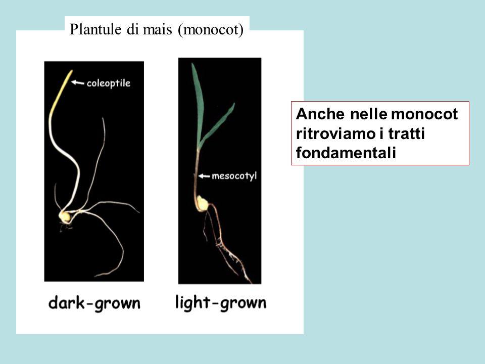 Plantule di mais (monocot)