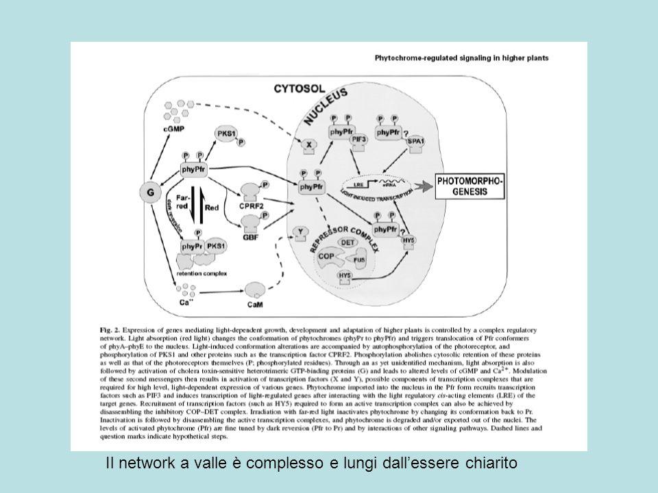 Il network a valle è complesso e lungi dall'essere chiarito