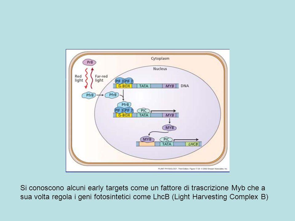 Si conoscono alcuni early targets come un fattore di trascrizione Myb che a sua volta regola i geni fotosintetici come LhcB (Light Harvesting Complex B)