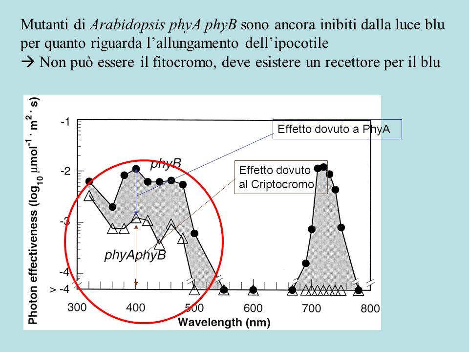  Non può essere il fitocromo, deve esistere un recettore per il blu