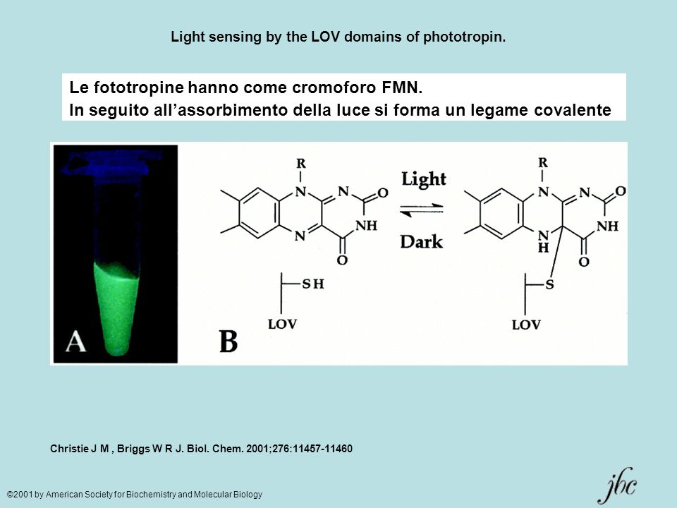 Light sensing by the LOV domains of phototropin.