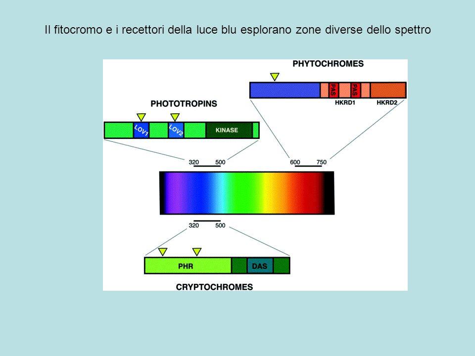 Il fitocromo e i recettori della luce blu esplorano zone diverse dello spettro