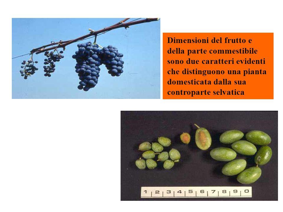 Dimensioni del frutto e della parte commestibile sono due caratteri evidenti che distinguono una pianta domesticata dalla sua controparte selvatica