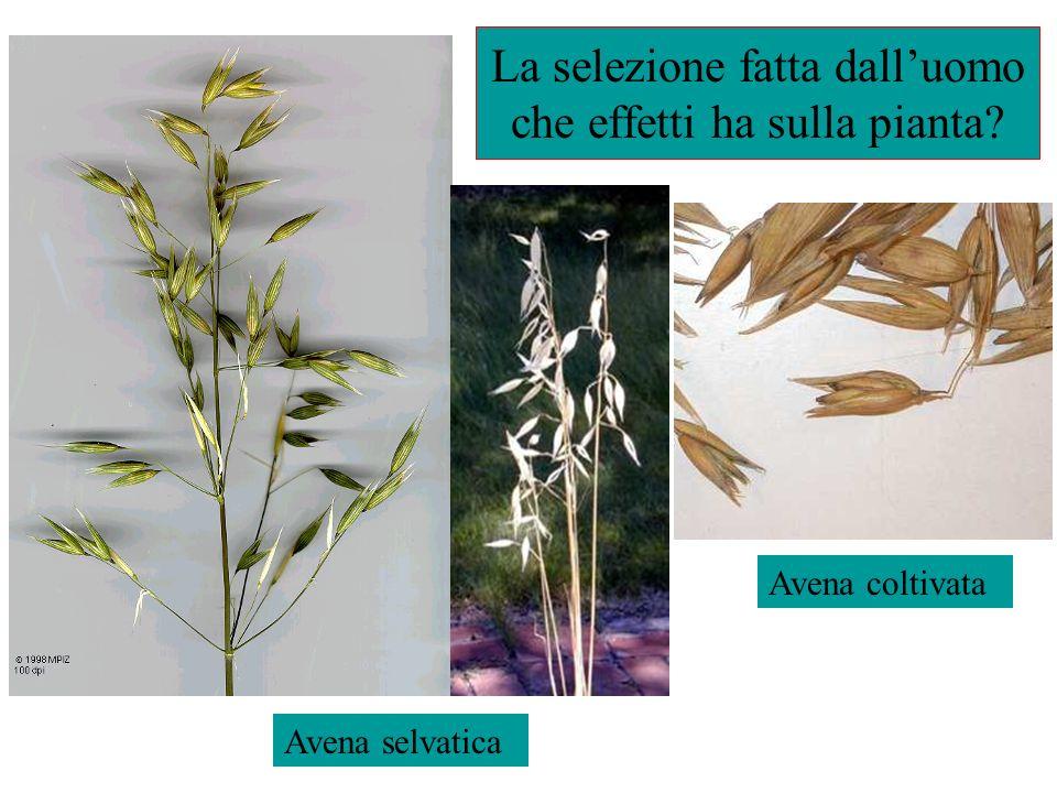La selezione fatta dall'uomo che effetti ha sulla pianta