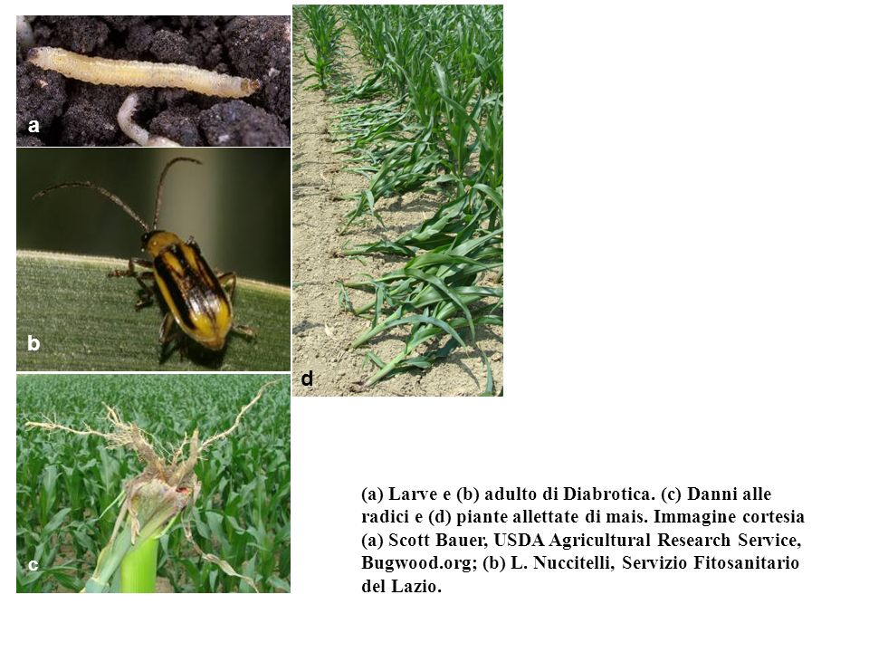 a b. c. d. a: http://www.forestryimages.org/images/768x512/0725088.jpg. b: http://www.vodoley.dn.ua/pic/Diabrotica/Diabrotica1_001.jpg.