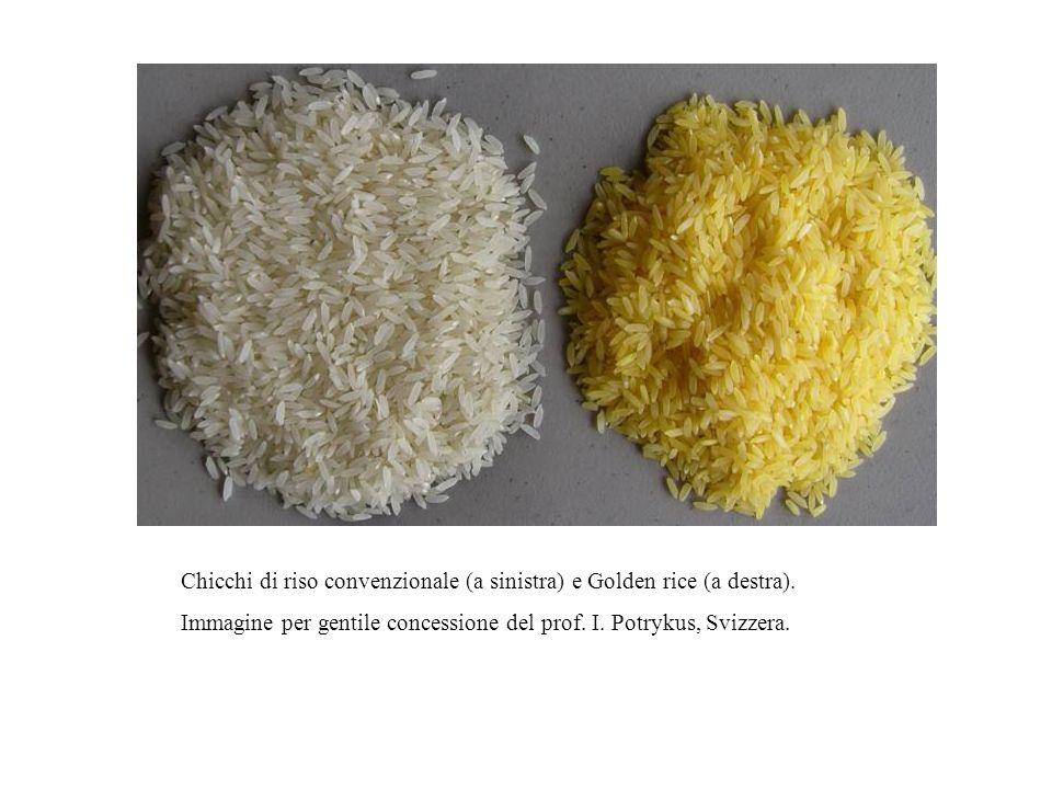 Chicchi di riso convenzionale (a sinistra) e Golden rice (a destra).
