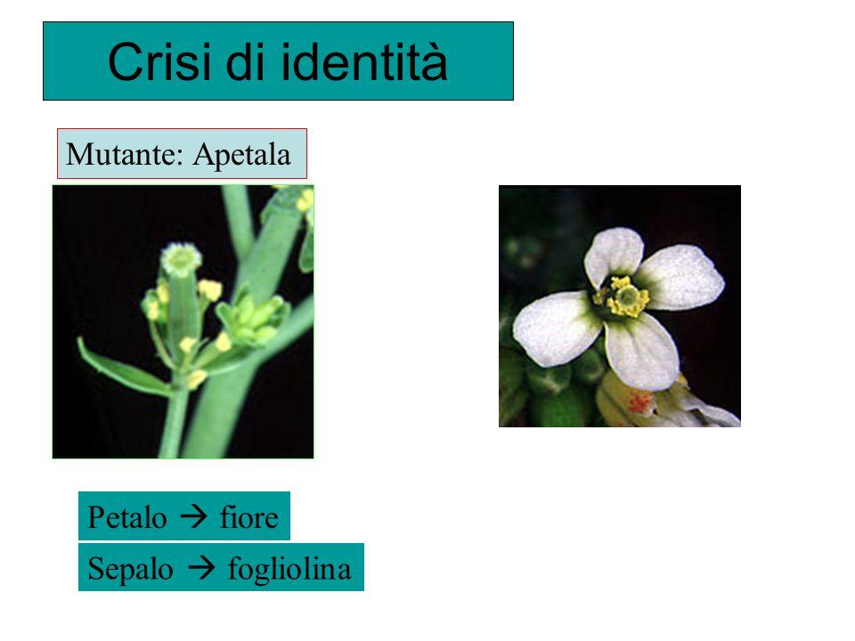 Crisi di identità Mutante: Apetala Petalo  fiore Sepalo  fogliolina