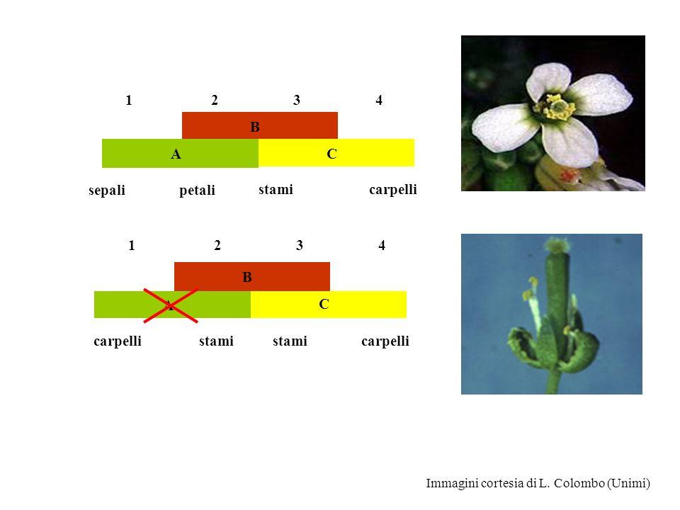 B A C 1 2 3 4 sepali petali stami carpelli B A C 1 2 3 4