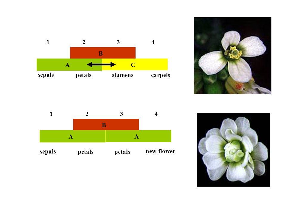1 2 3 4 B A C sepals petals stamens carpels 1 2 3 4 B A A C sepals petals petals new flower