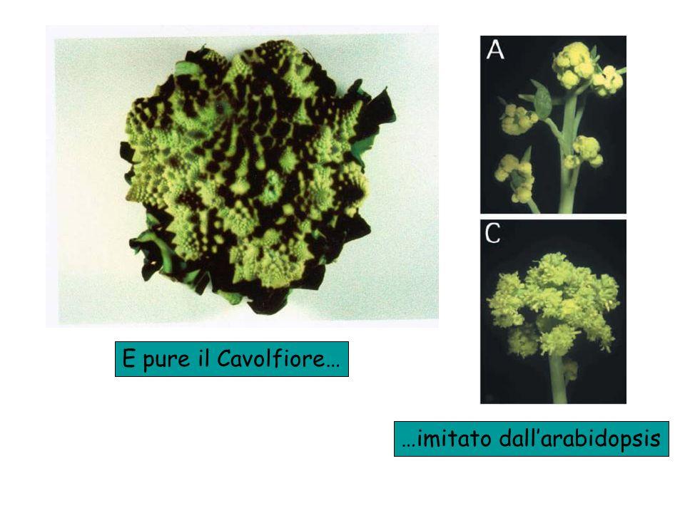 E pure il Cavolfiore… …imitato dall'arabidopsis