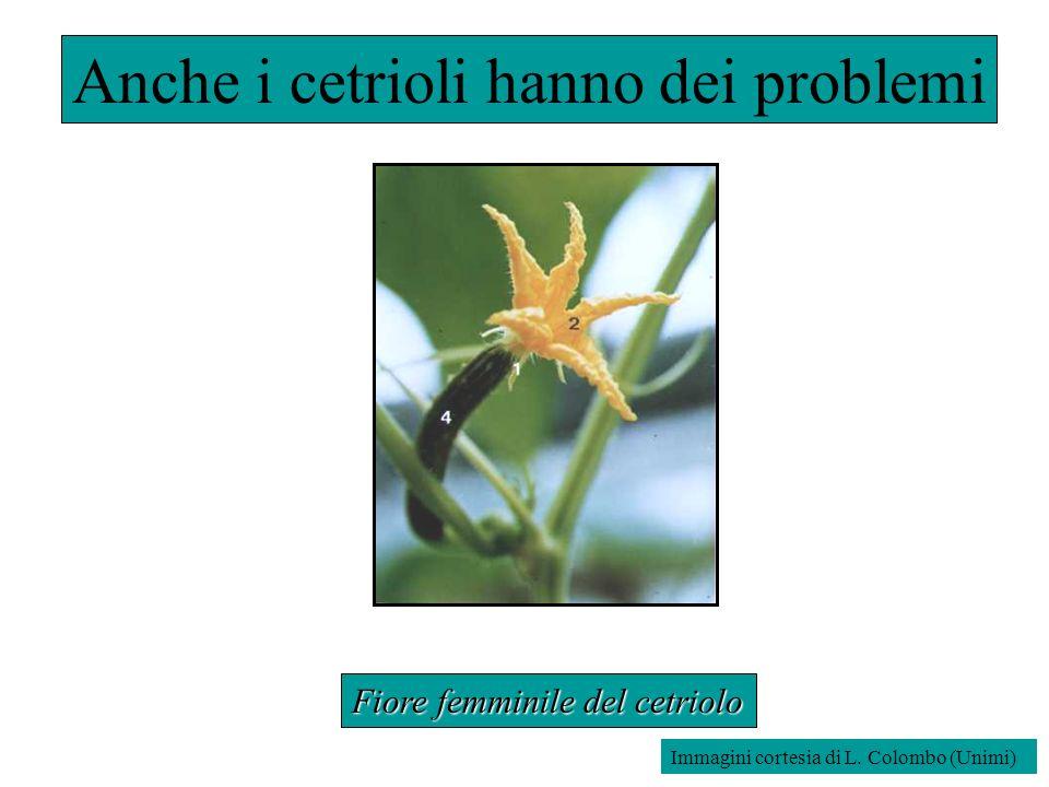 Anche i cetrioli hanno dei problemi