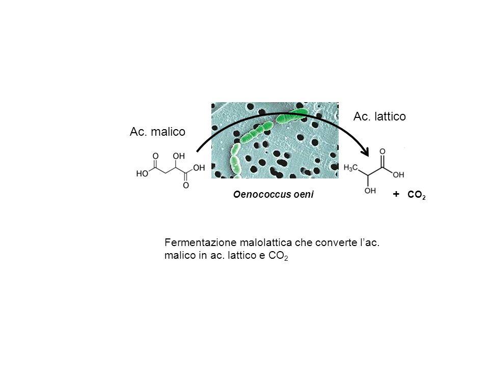 Ac. lattico Ac. malico. Oenococcus oeni. + CO2.