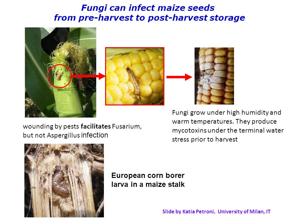Fungi can infect maize seeds from pre-harvest to post-harvest storage