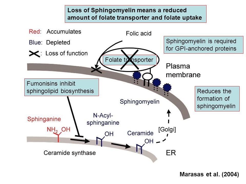Loss of Sphingomyelin means a reduced amount of folate transporter and folate uptake