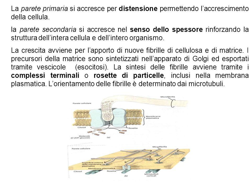 La parete primaria si accresce per distensione permettendo l'accrescimento della cellula.