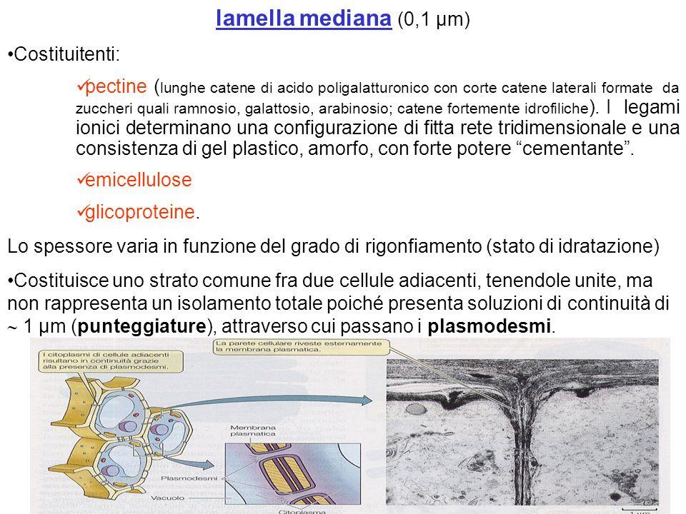 lamella mediana (0,1 µm) Costituitenti: