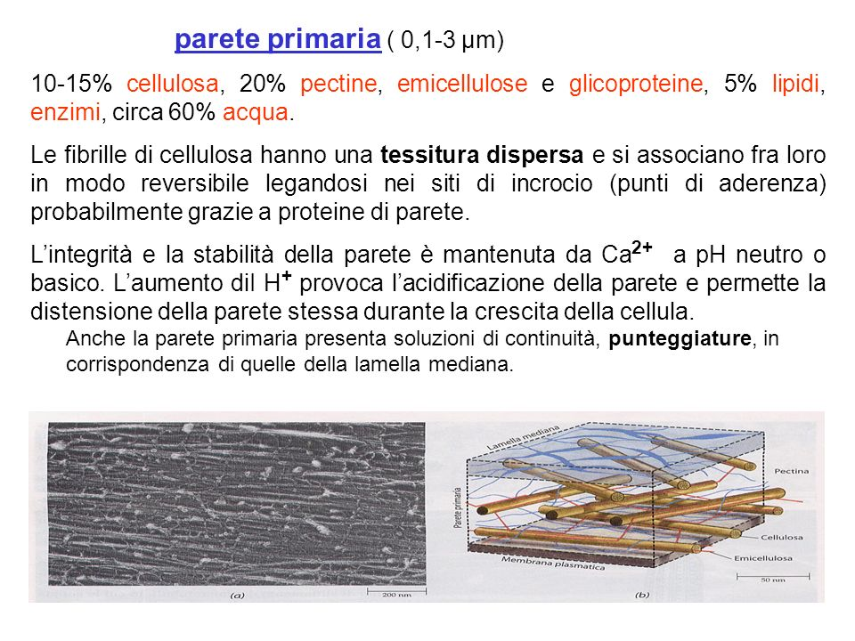 parete primaria ( 0,1-3 µm) 10-15% cellulosa, 20% pectine, emicellulose e glicoproteine, 5% lipidi, enzimi, circa 60% acqua.