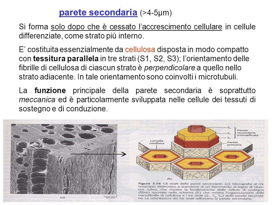 parete secondaria (>4-5µm)