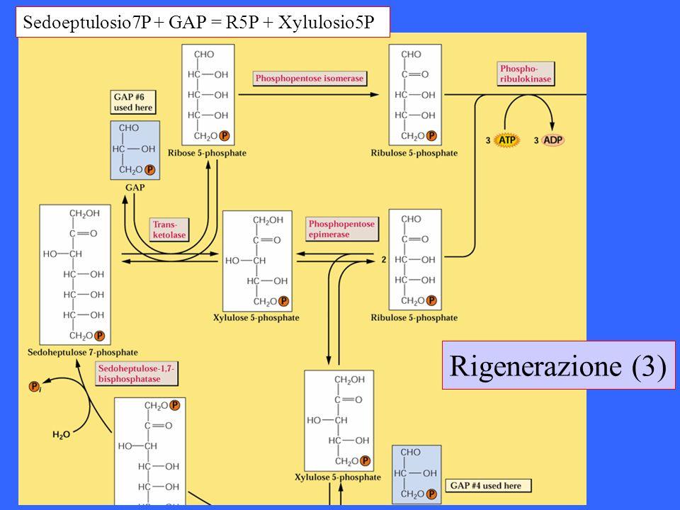 Sedoeptulosio7P + GAP = R5P + Xylulosio5P