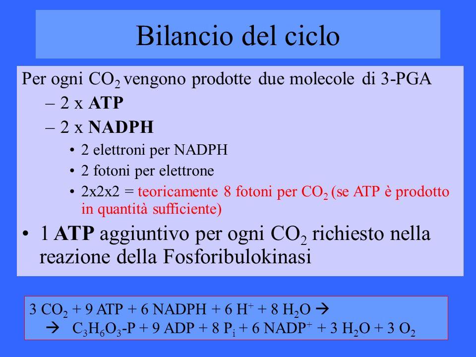 Bilancio del ciclo Per ogni CO2 vengono prodotte due molecole di 3-PGA. 2 x ATP. 2 x NADPH. 2 elettroni per NADPH.