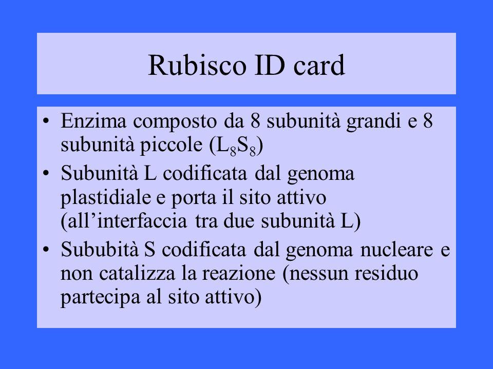 Rubisco ID card Enzima composto da 8 subunità grandi e 8 subunità piccole (L8S8)