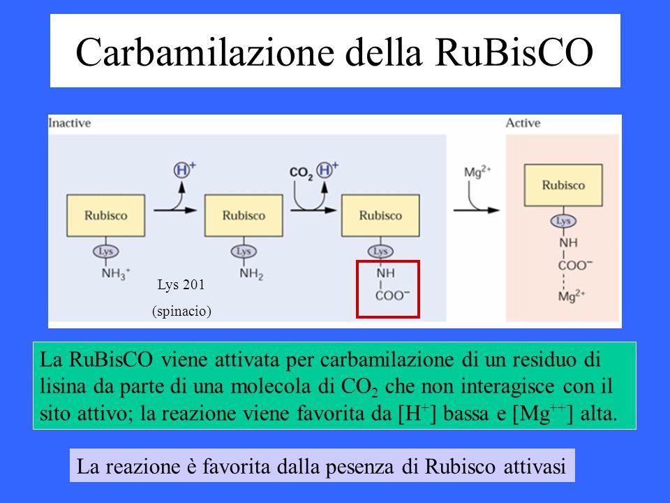 Carbamilazione della RuBisCO