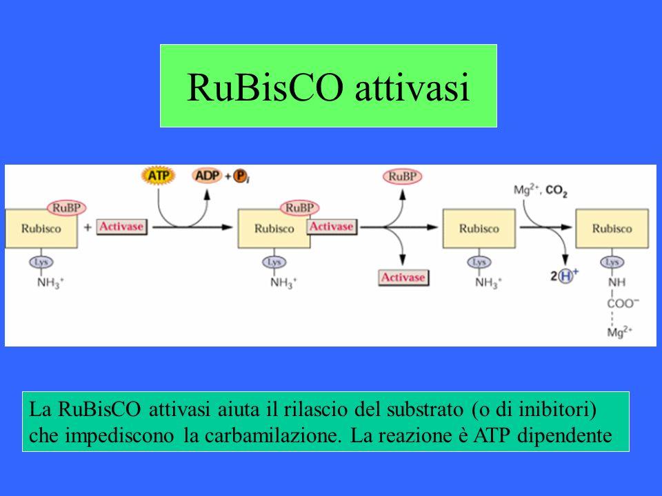 RuBisCO attivasiLa RuBisCO attivasi aiuta il rilascio del substrato (o di inibitori) che impediscono la carbamilazione.