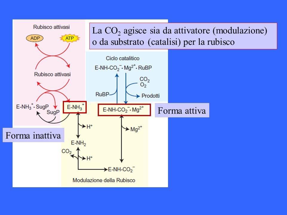 La CO2 agisce sia da attivatore (modulazione) o da substrato (catalisi) per la rubisco
