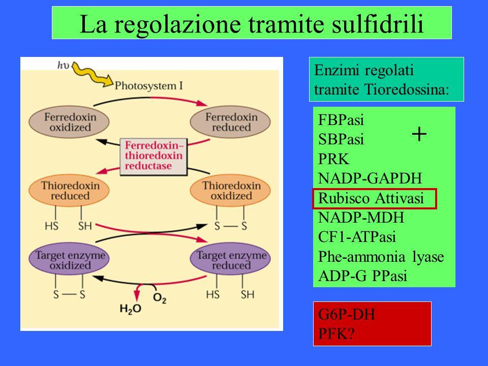 La regolazione tramite sulfidrili
