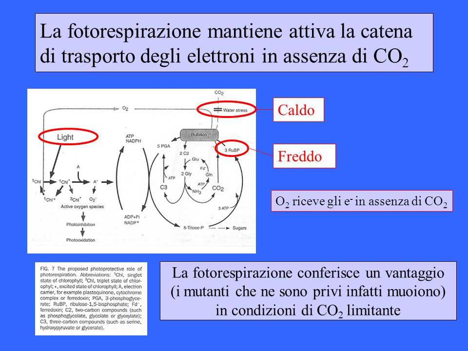 La fotorespirazione mantiene attiva la catena di trasporto degli elettroni in assenza di CO2