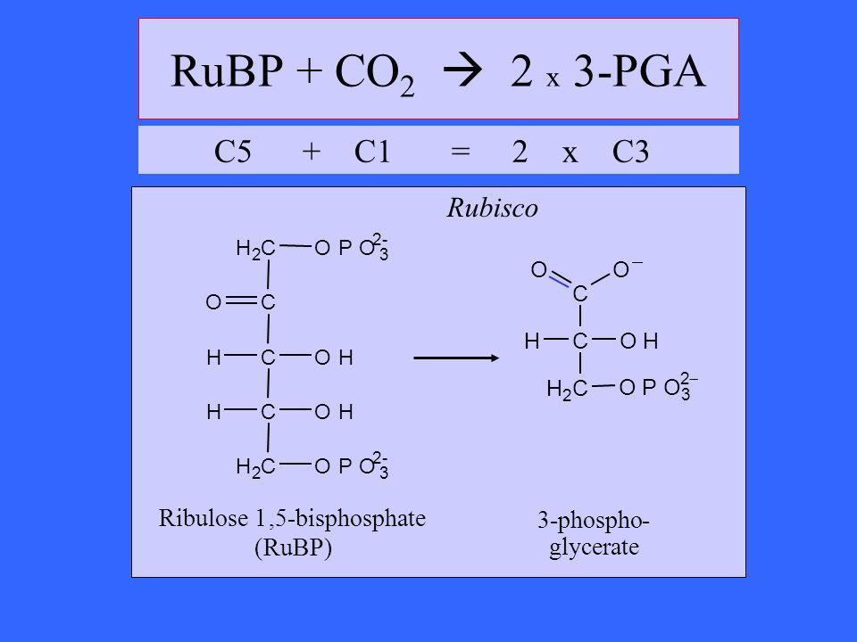 RuBP + CO2  2 x 3-PGA C5 + C1 = 2 x C3 Rubisco Ribulose 1