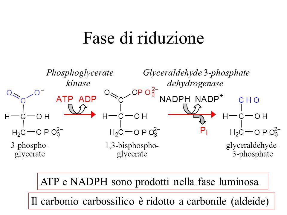 Fase di riduzione ATP e NADPH sono prodotti nella fase luminosa