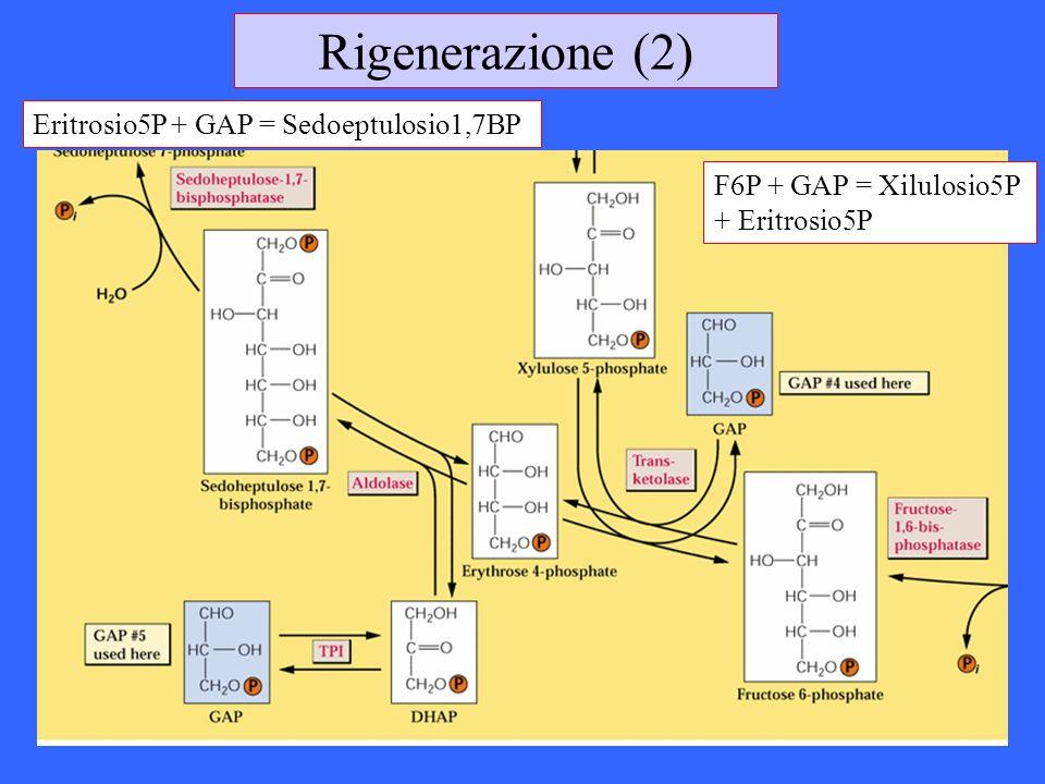 Rigenerazione (2) Eritrosio5P + GAP = Sedoeptulosio1,7BP