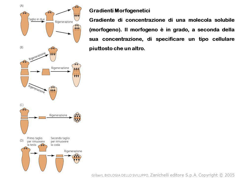 Gradienti Morfogenetici