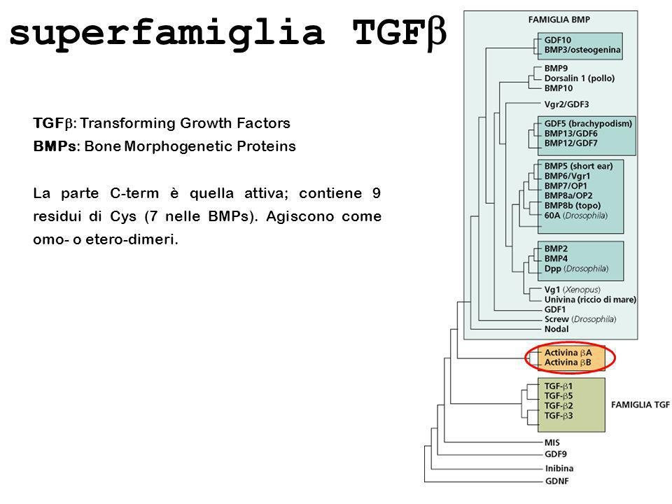superfamiglia TGFb TGFb: Transforming Growth Factors