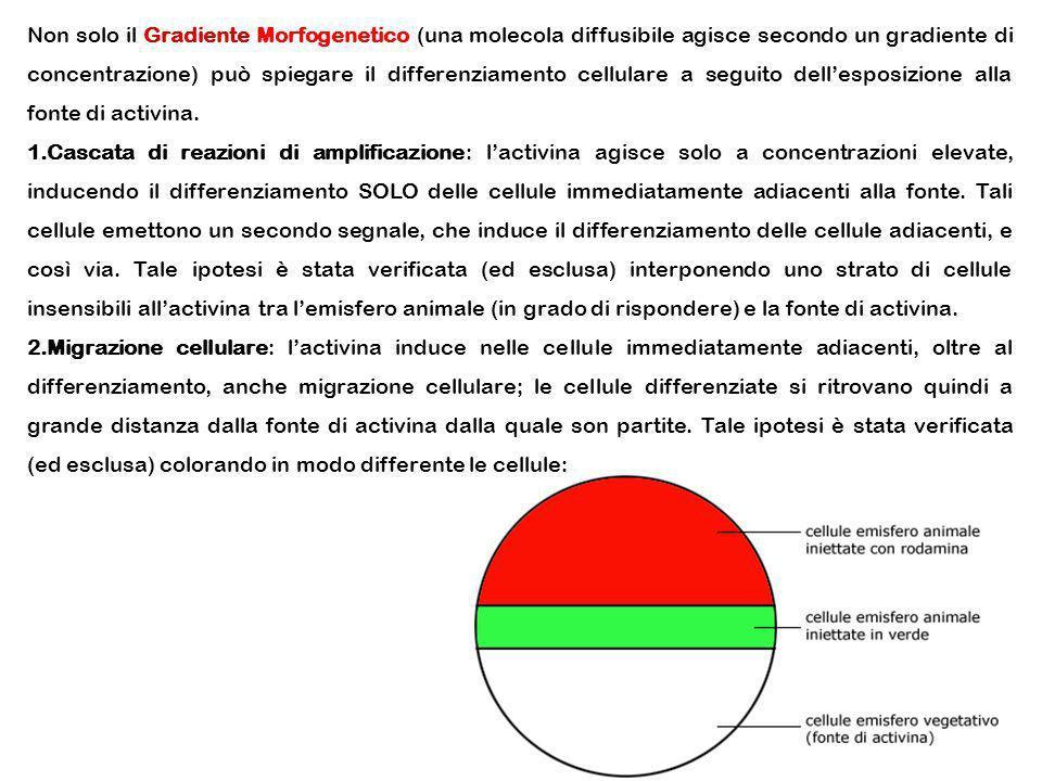 Non solo il Gradiente Morfogenetico (una molecola diffusibile agisce secondo un gradiente di concentrazione) può spiegare il differenziamento cellulare a seguito dell'esposizione alla fonte di activina.