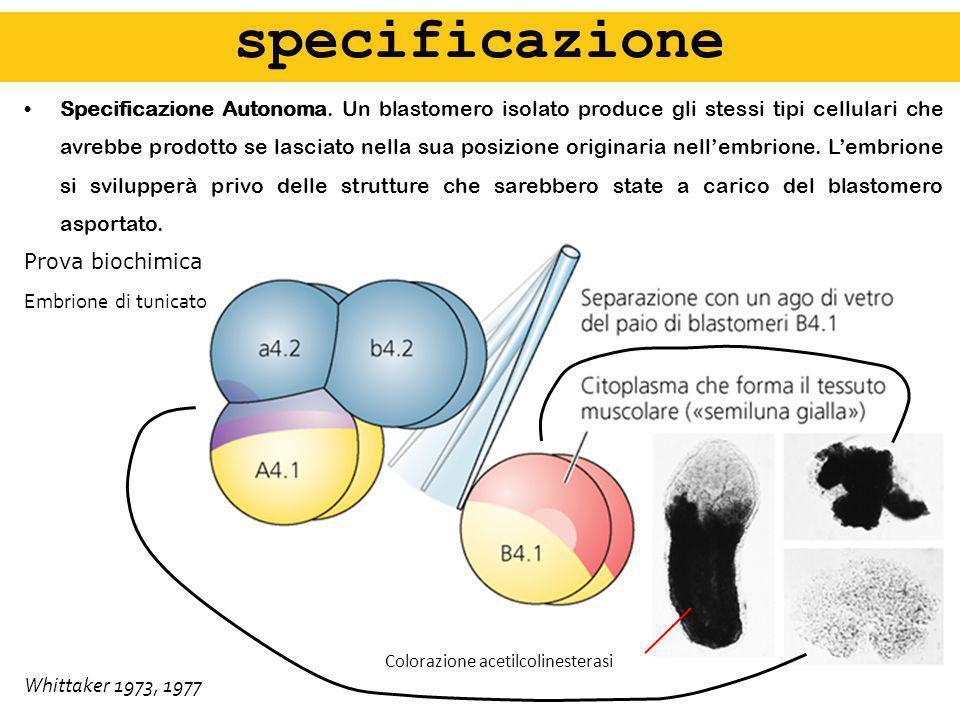 specificazione specificazione