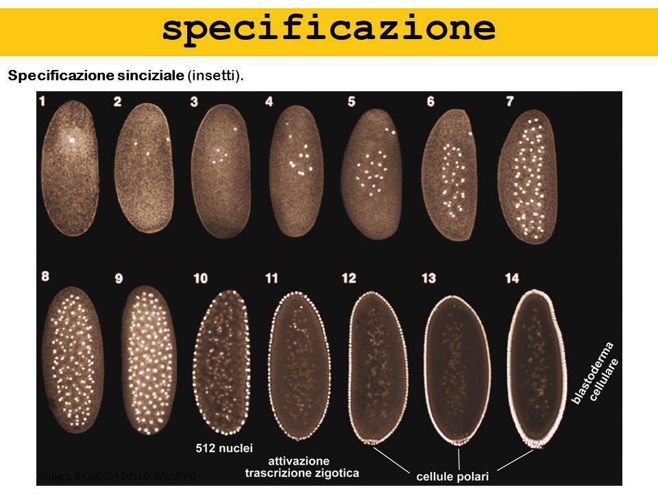 specificazione Specificazione sinciziale (insetti).