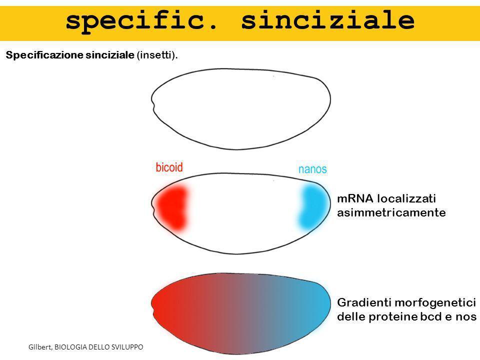specific. sinciziale mRNA localizzati asimmetricamente