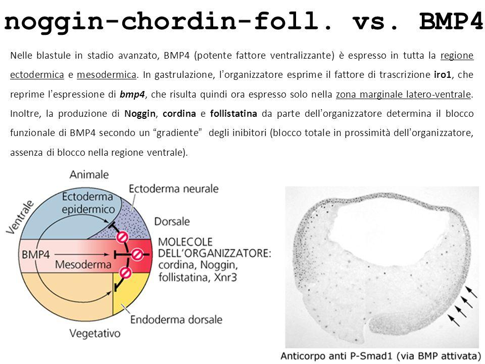 noggin-chordin-foll. vs. BMP4