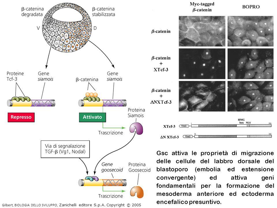 Gsc attiva le proprietà di migrazione delle cellule del labbro dorsale del blastoporo (embolia ed estensione convergente) ed attiva geni fondamentali per la formazione del mesoderma anteriore ed ectoderma encefalico presuntivo.