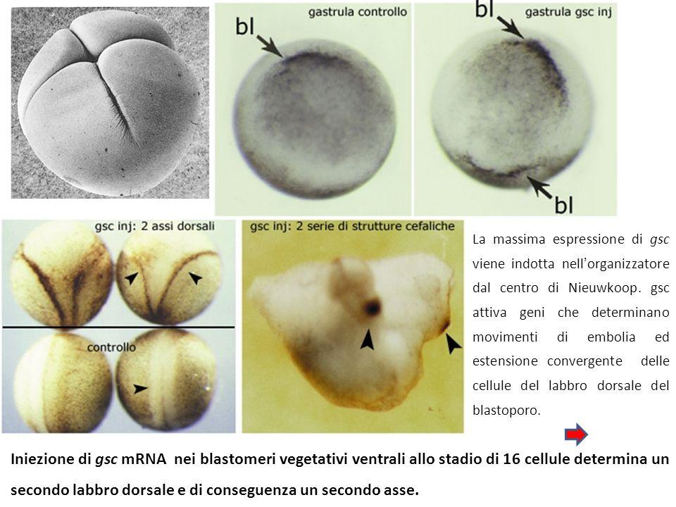 La massima espressione di gsc viene indotta nell'organizzatore dal centro di Nieuwkoop. gsc attiva geni che determinano movimenti di embolia ed estensione convergente delle cellule del labbro dorsale del blastoporo.